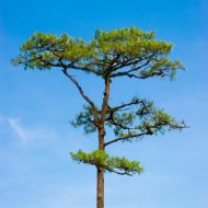 Scot's Pine 10 Seeds - Interesting Growth Habit, Charming Tree,Unique Bonsai